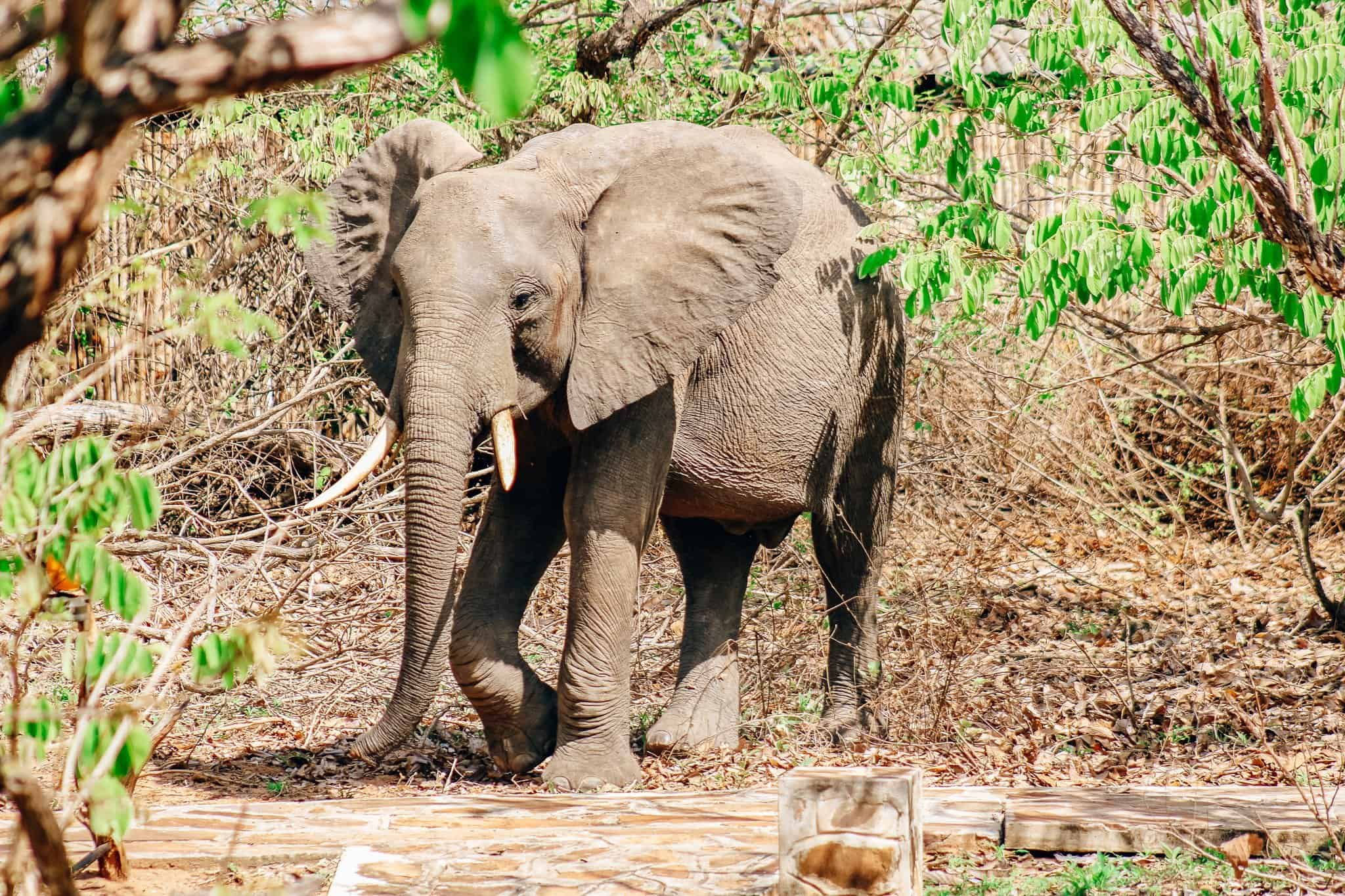 The Start of our First African Safari - Elephant at Rufiji River Camp