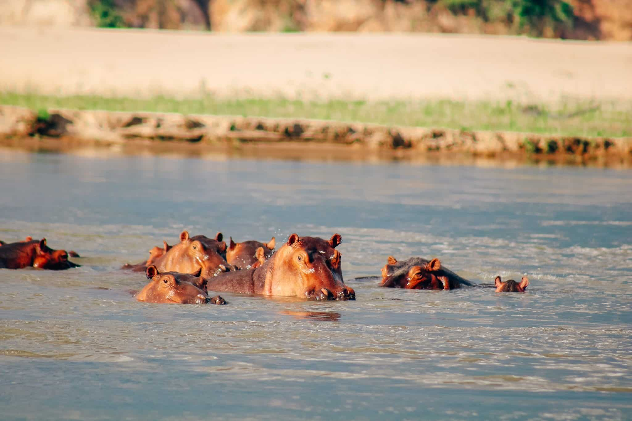 The Start of our First African Safari - Hippo