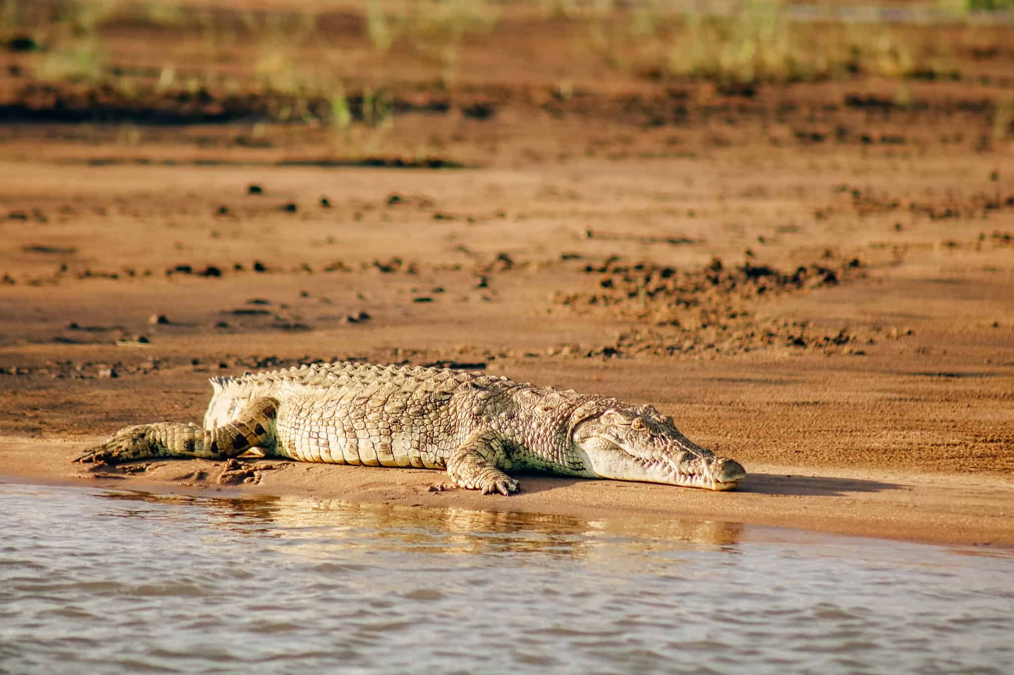The Start of our First African Safari - Crocodile