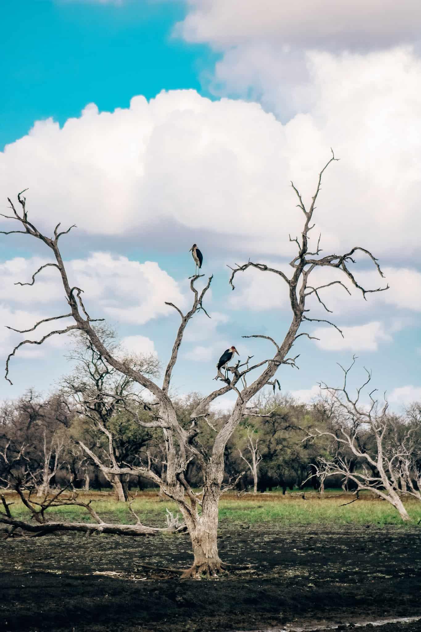 Marabou Storks - African Safari Drive in the Selous Game Reserve