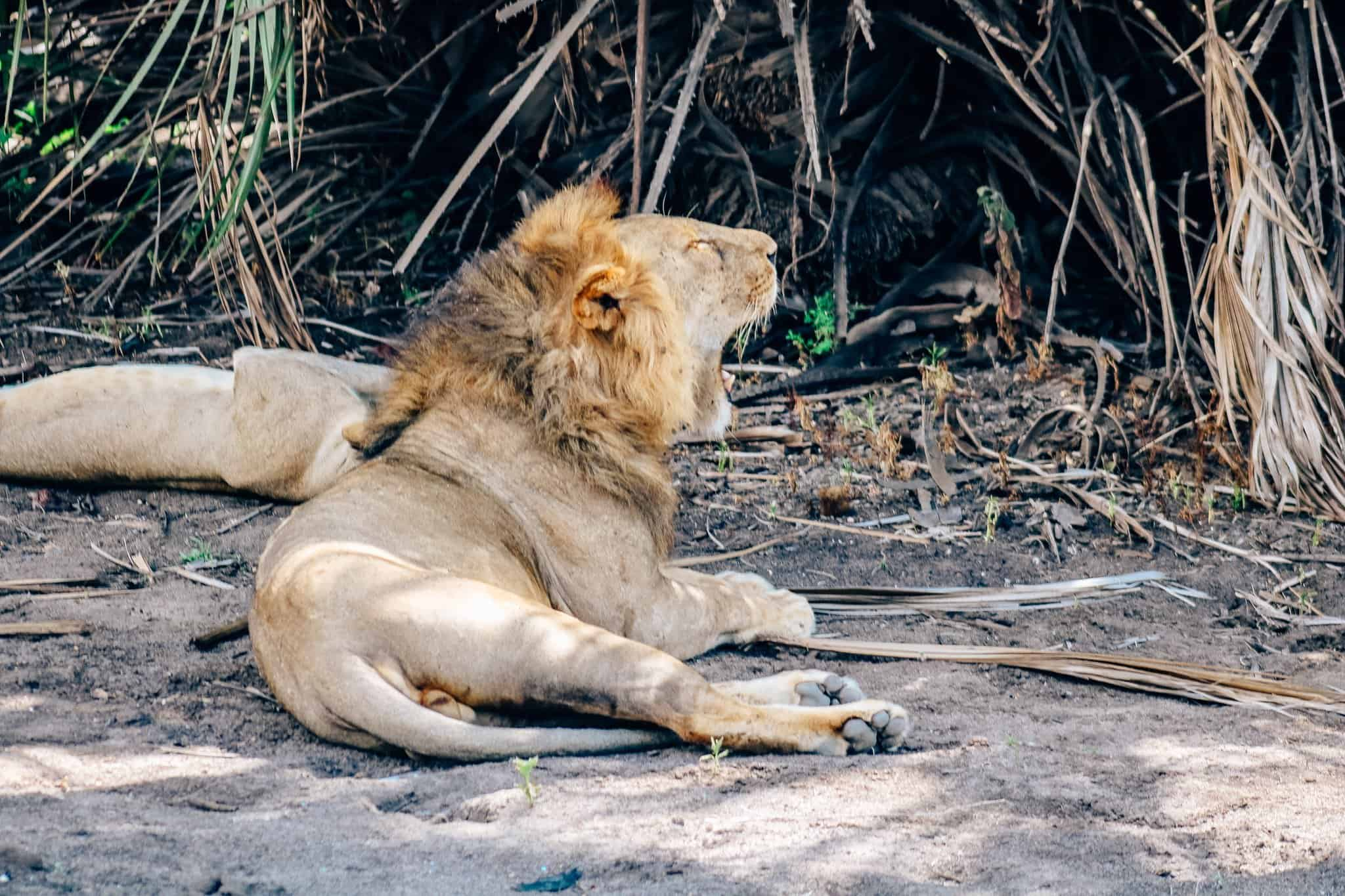 Pride of Lions - African Safari Drive in the Selous Game Reserve
