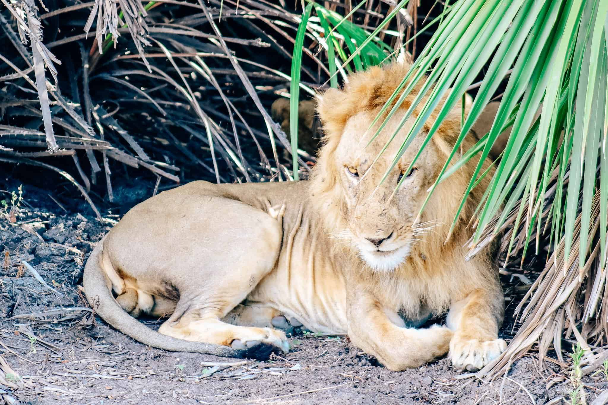 Male Lion on African Safari Drive in the Selous Game Reserve