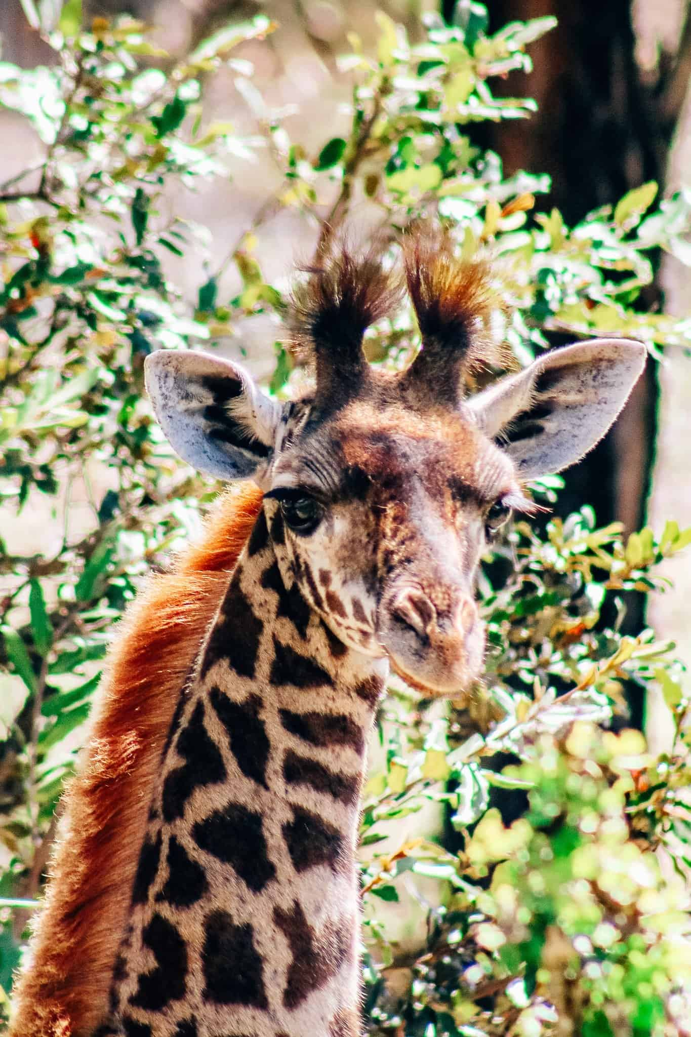 Young Male Giraffe on African Safari Drive in the Selous Game Reserve