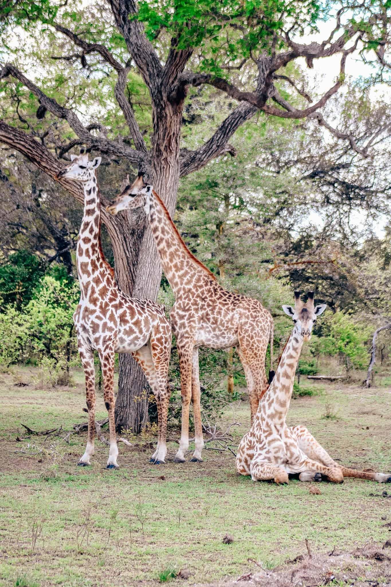 Giraffe Family on African Safari Drive in the Selous Game Reserve