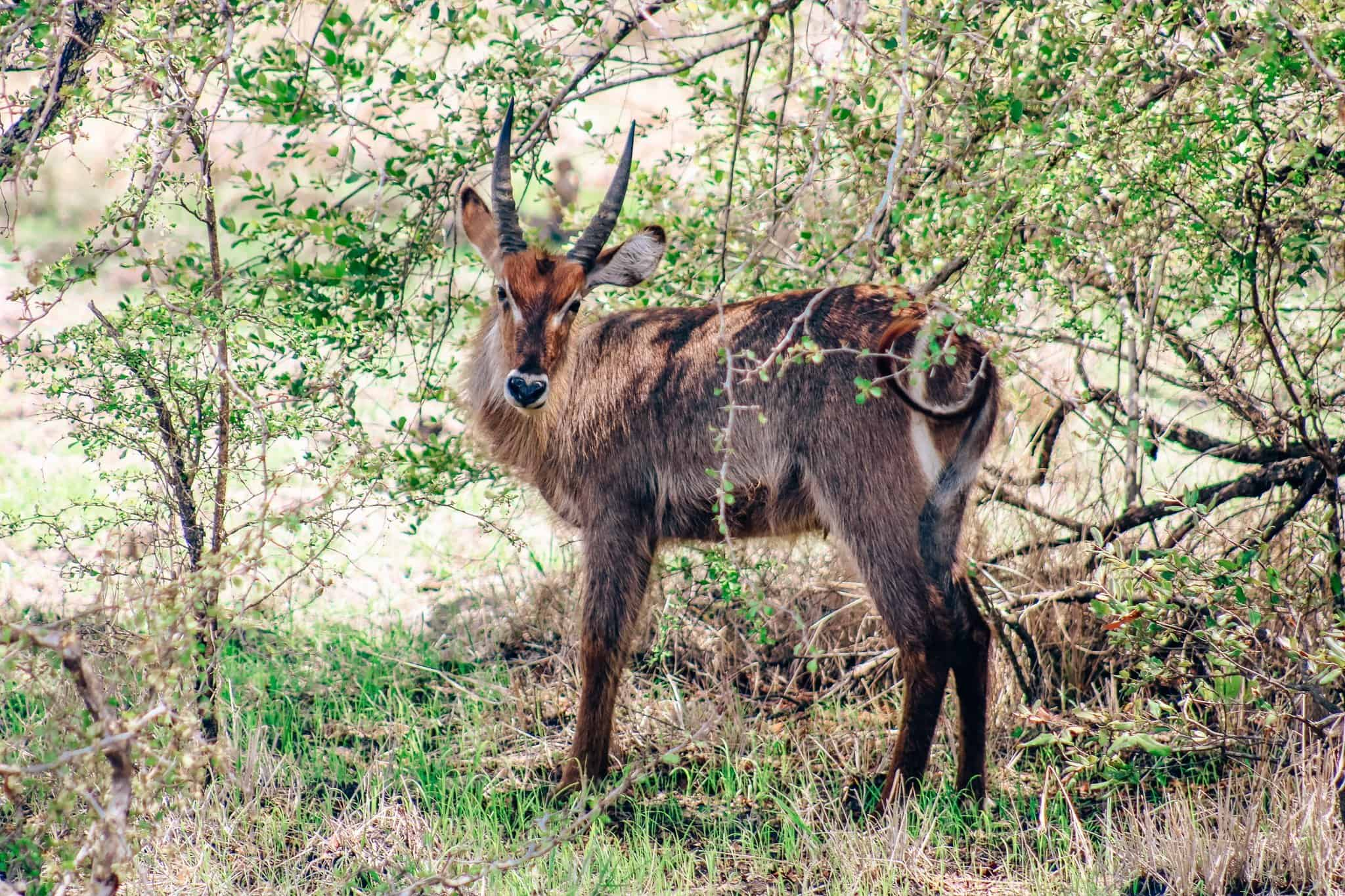 Male Water Buck on African Safari Drive in the Selous Game Reserve