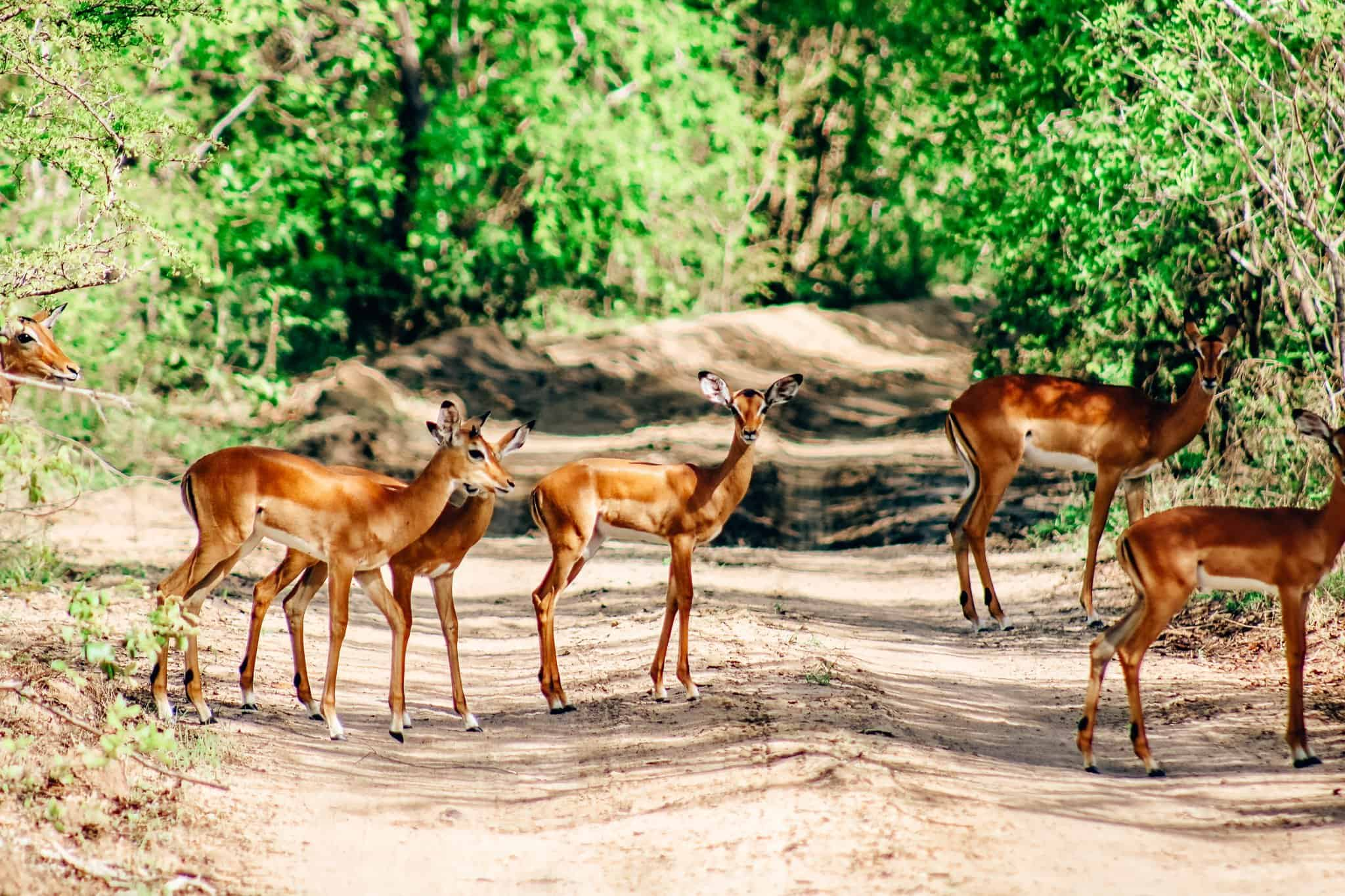 Herd of Impalas on African Safari Drive in the Selous Game Reserve