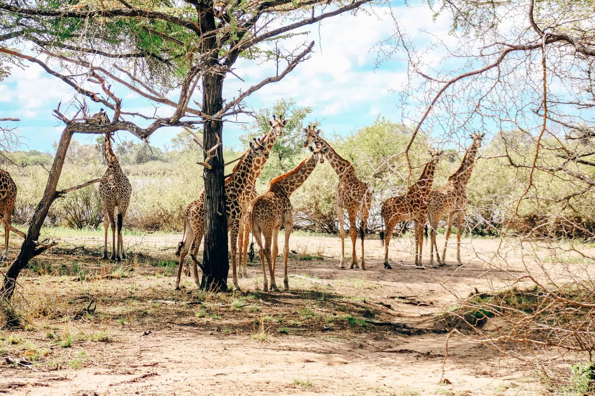 Tower of Giraffes on African Safari Drive in the Selous Game Reserve