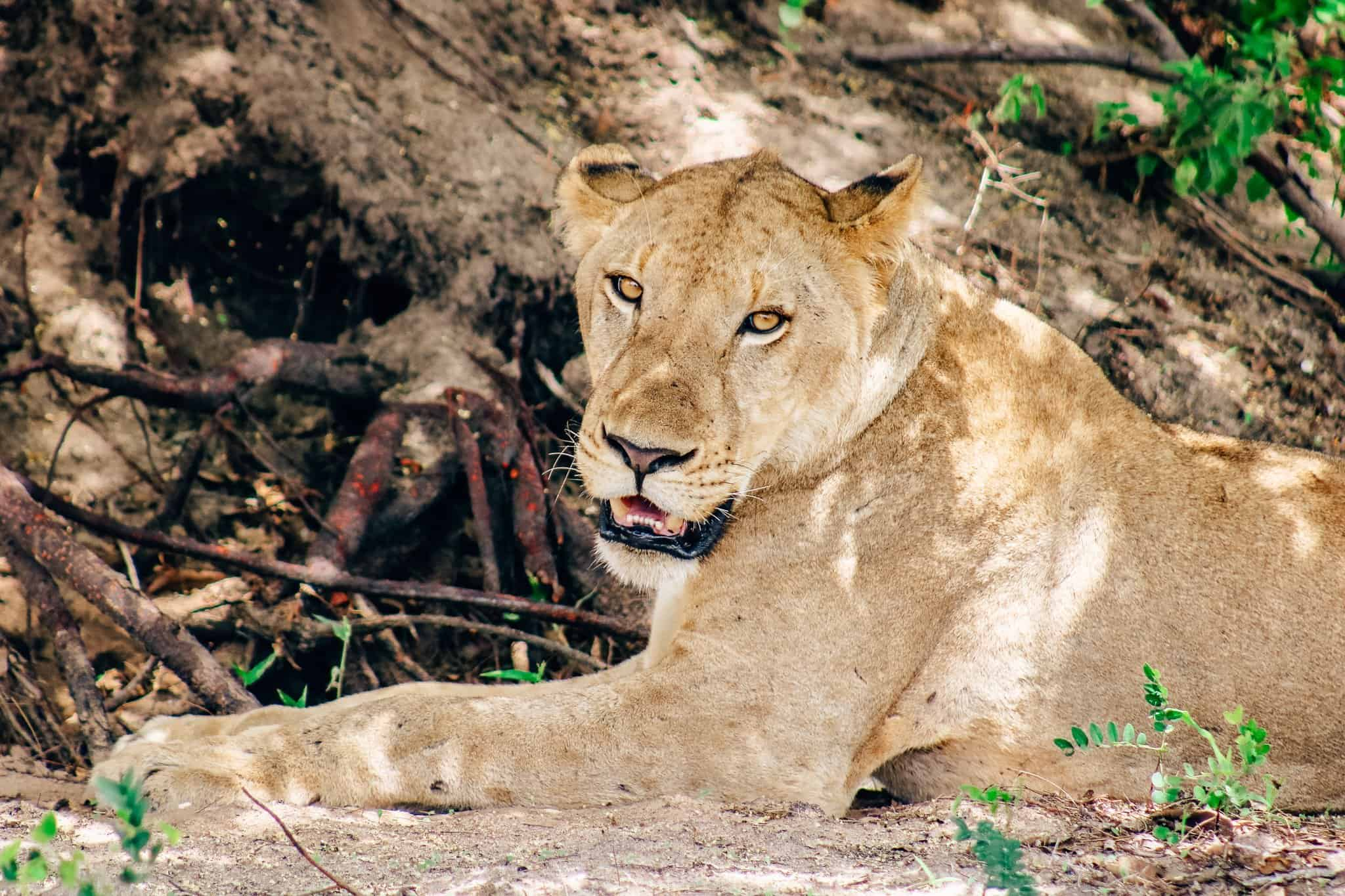 Lion on African Safari Drive in the Selous Game Reserve