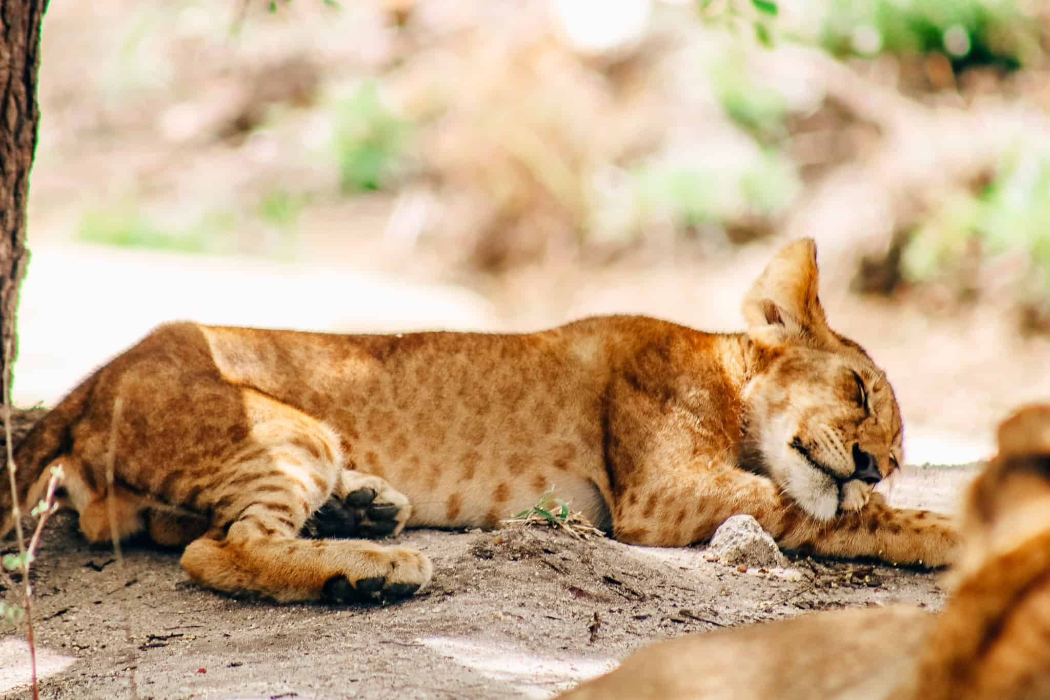 Lion Cub on African Safari Drive in the Selous Game Reserve