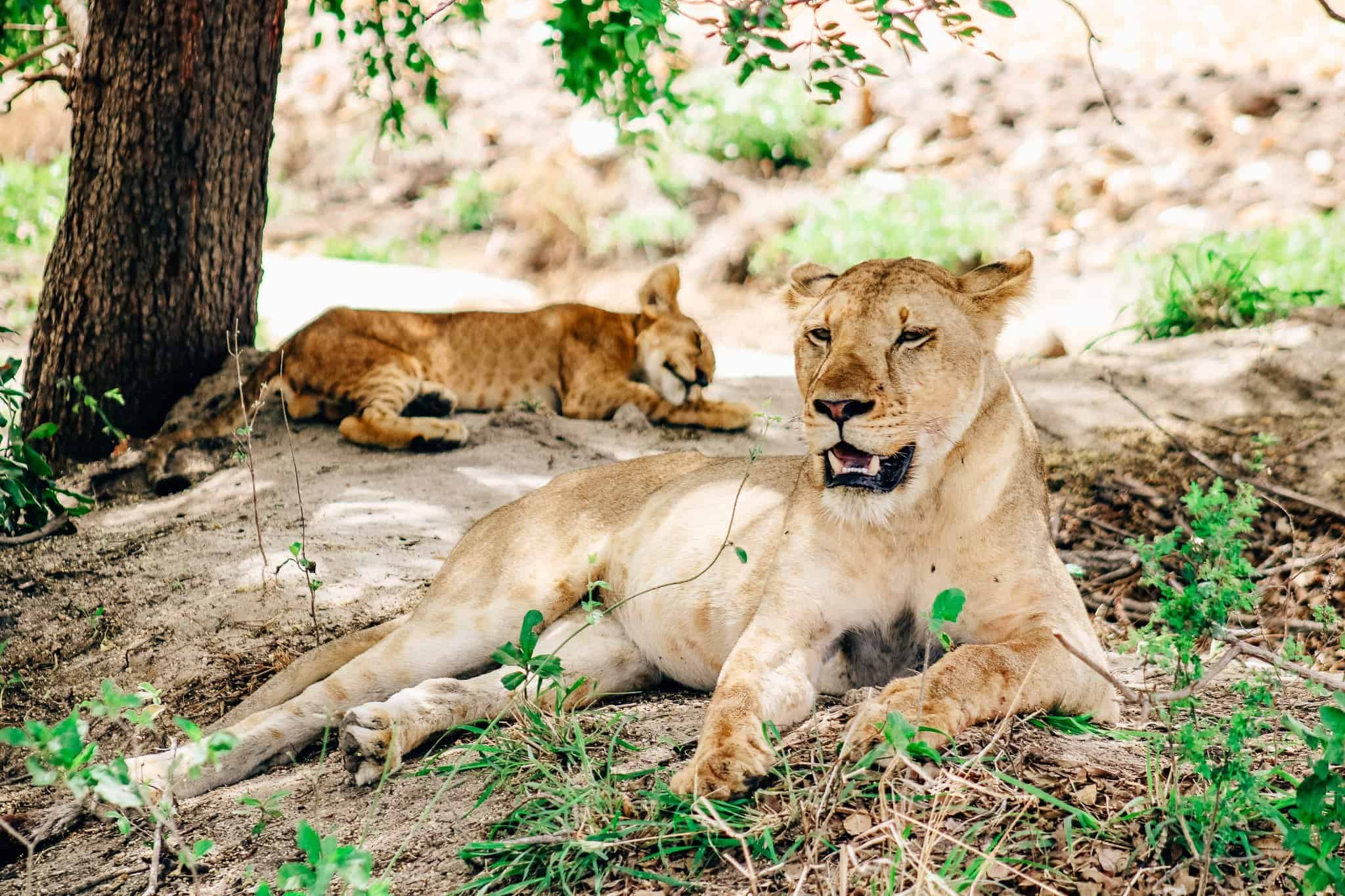 Family of Lions on African Safari Drive in the Selous Game Reserve