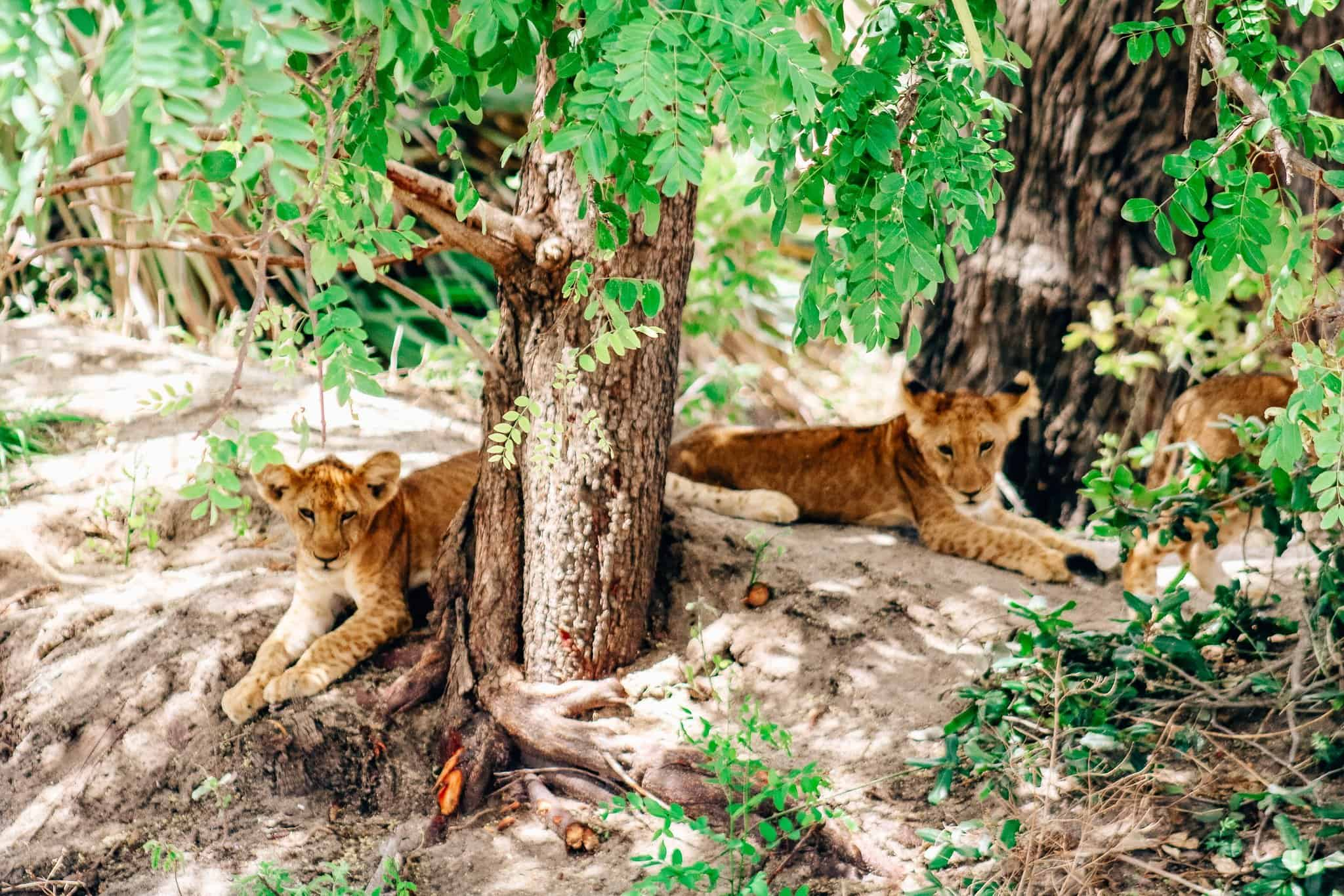 Two Lion Cubs on African Safari Drive in the Selous Game Reserve