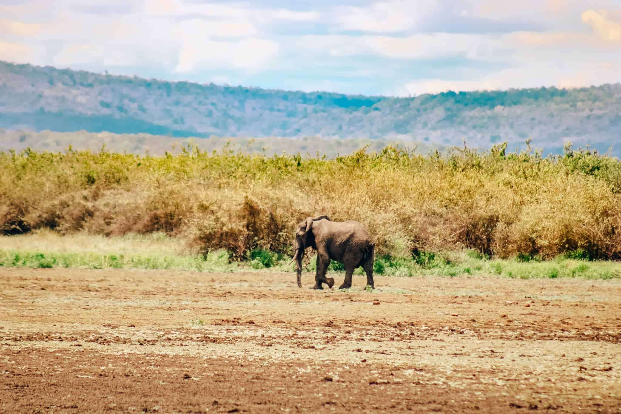 Lonely Elephant on African Safari Drive in the Selous Game Reserve