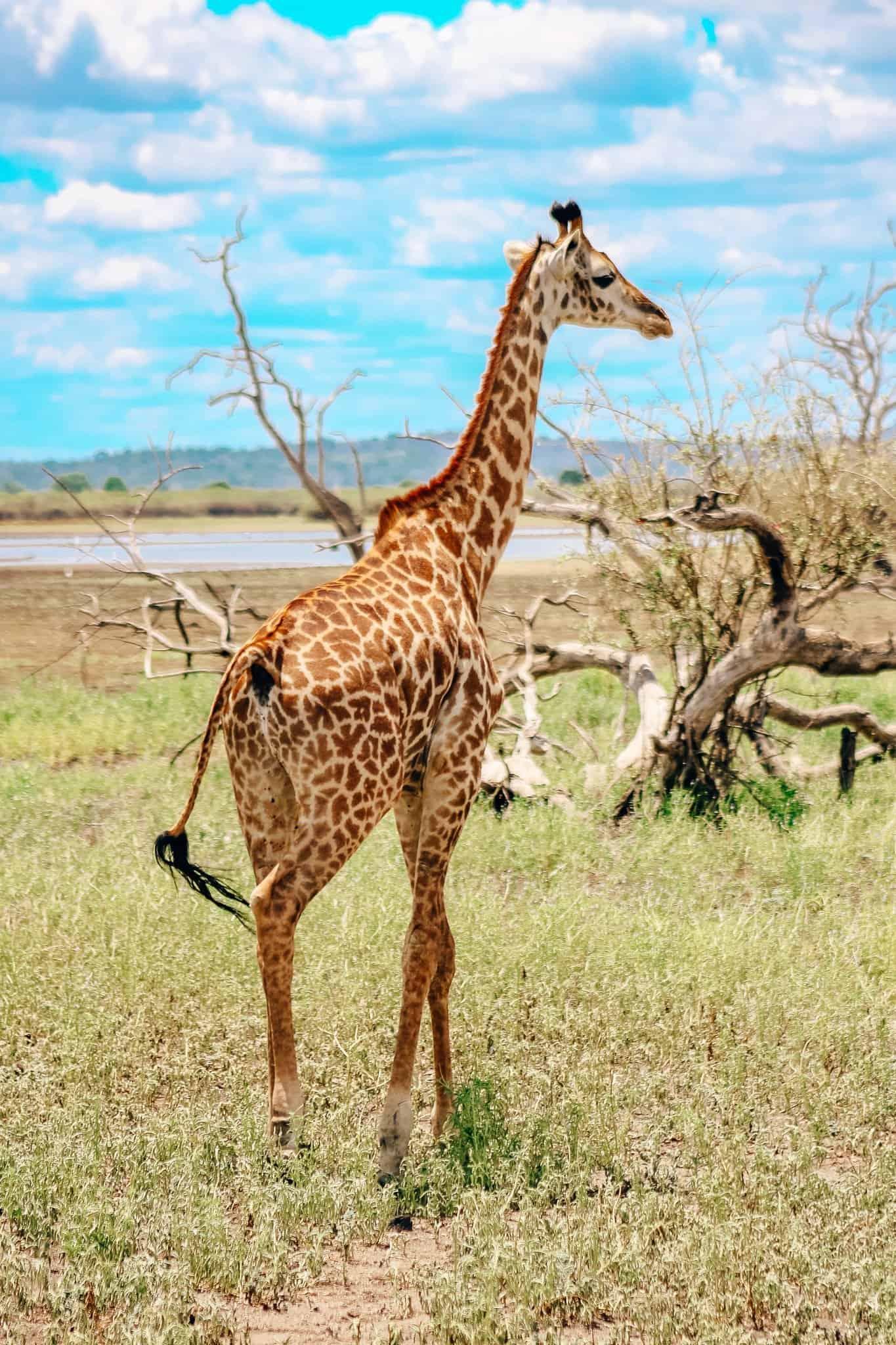 Giraffe on African Safari Drive in the Selous Game Reserve