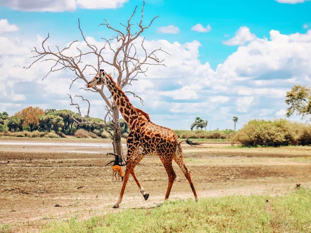 African Safari Drive in the Selous Game Reserve 9