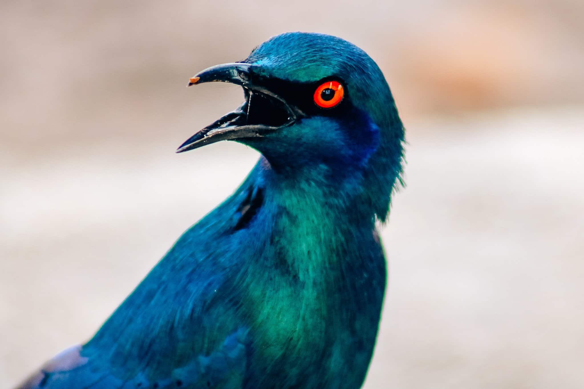 Blue Bird on African Safari Drive in the Selous Game Reserve