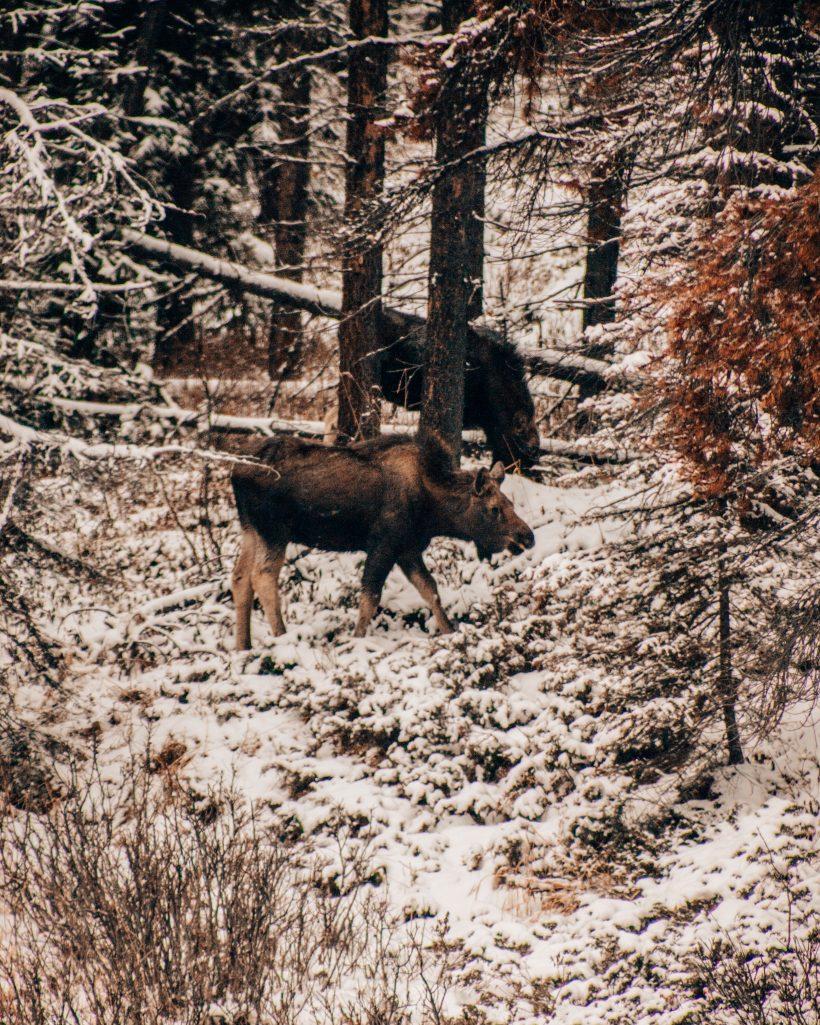 Moose in Jasper National Park